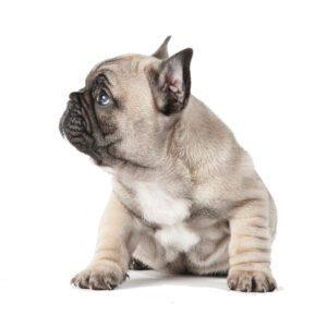 fransk-bulldog